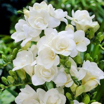 Фрезія біла