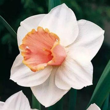 Нарцис Салом