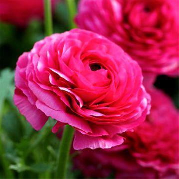 Ранункулюс рожевий
