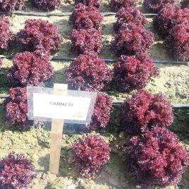 Кармези (Кармеси) семена салата тип Лолло Росса дражированные (Rijk Zwaan)