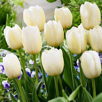 Тюльпан Пейс Бас