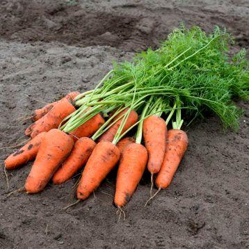 Морква Кесена F1 (2,2-2,4 мм)