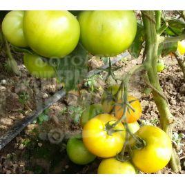 Гуальдино F1 семена томата индет. раннего окр. желтого 130-140 г (Enza Zaden) НЕТ ТОВАРА