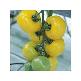 Гуалдиньо F1 семена томата индет желтого (Enza Zaden)