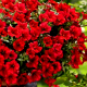 Петуния Лавина красная (red)
