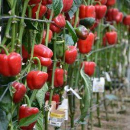 Маратос F1 семена перца сладкого тип Блочный раннего 70-75 дн. корот.куб. 240-290г. зел./красн. (Enza Zaden)