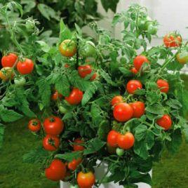 Ляна семена томата дет (Элитный ряд)