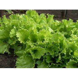 Одесский кучерявец семена салата тип Батавия зел. (Элитный ряд)
