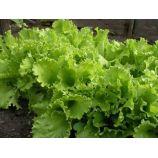 семена салата листового одесский кучерявец