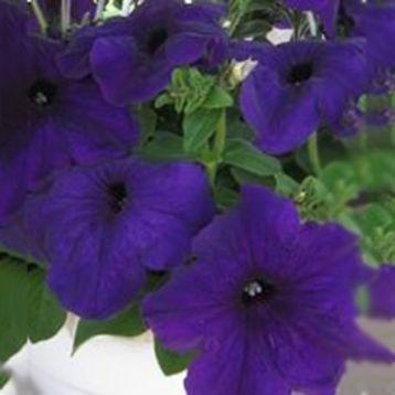 Петуния Танака Blue (синяя)