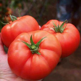 Лезафорта F1 семена томата индет. среднераннего 95-100 дн. окр. 240-280 гр. (Enza Zaden)