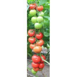 Байконур F1 (Е15B.50206 F1) семена томата индет. раннего 85-90 дн. окр. 160-180гр (Enza Zaden)