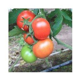 Байконур F1 (Е15B50206 F1) семена томата индет (Enza Zaden)