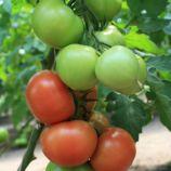 Ралли F1 семена томата индет. раннего 90-95 дн окр. 190-300г красный (Enza Zaden)