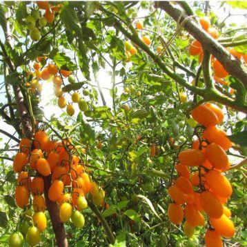 Томат Золотые пальчики черри семена томата Элитный ряд [ полудетерминантный, ранний] - купить, цена в Супермаркет Семян