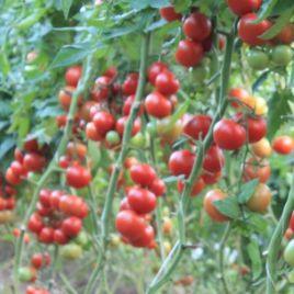 Буран F1 семена томата индет. раннего 95-100 дн. окр. 190-220г (Enza Zaden)