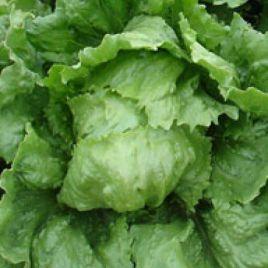 Броган семена салата тип Айсберг зел. (Enza Zaden)