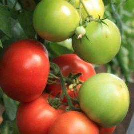 Мондиал F1 семена томата индет. ультрараннего окр. 180-200г (Enza Zaden) СНЯТО С ПРОИЗВОДСТВА