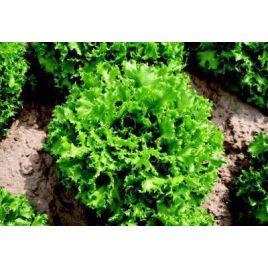 Канкан семена салата тип Фризе (Hazera)