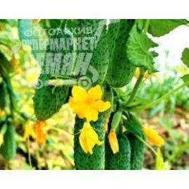 Грин Пик F1 семена огурца партенокарп. ультраранн. 35-40 дн. 6-12 см (United Genetics)