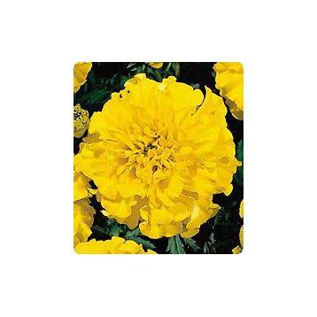 Бархатцы Наоми Yellow (желтые)