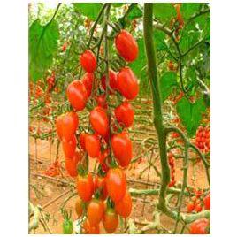 Плумер F1 семена томата индет. черри 15-20 гр. (May Seeds) НЕТ СЕМЯН