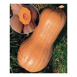 Виолина семена тыквы мускатной средней 110дн. 3-4 кг (Hortus)