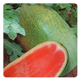 Чарльстон Грей семена арбуза среднераннего 85-90 дней 11-15 кг (Euroseed) НЕТ ТОВАРА