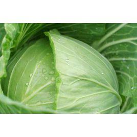 Белоснежка семена капусты б/к поздней 150-155 дн. 2,3-4 кг (Hortus)