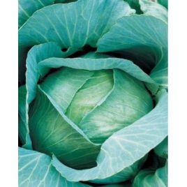 Амагер Дауер семена капусты б/к поздней (Hortus)