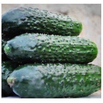 семена огурца легион f1