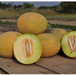 Радмила F1 (Медетли) семена дыни тип Ананас ультраранней 2-3 кг овал. (Yuksel)