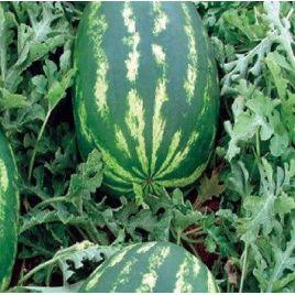Демре F1 семена арбуза тип кр.св. среднего 70-75 дн. 12-15 кг овал. (Yuksel)