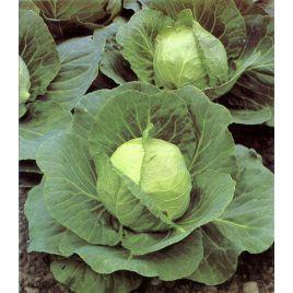 Слава семена капусты б/к средней 110-115 дн. 4-4,5 кг (Hortus)