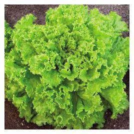 Гейзер семена салата тип Гранд Рапидс (Гавриш) НЕТ СЕМЯН