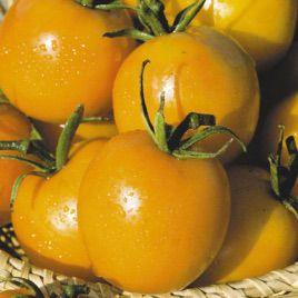 Де барао золотой семена томата индет желтого (Элитный ряд)