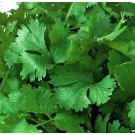 Марокканский семена кориандра (кинзы) (Hortus)