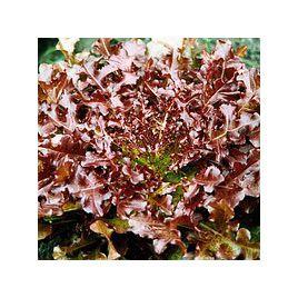 семена салата листового забава