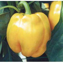 Квадрато Асти желтый семена перца сладкого тип Блочный раннего 110 дн. корот.куб. 200-220гр. 10х10см 4-х камер. зел./желт. (SAIS