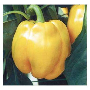 Квадрато Асти желтый семена перца сладкого раннего 110 дн зел./желт. кубов. (SAIS)