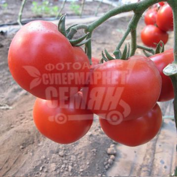 Валдай F1 семена томата полудет. (Bayer Nunhems)