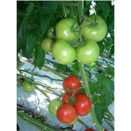 Алькасар F1 семена томата индет. 130-150 гр. (Гавриш) НЕТ ТОВАРА