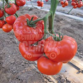 Аксиома F1 семена томата индет. раннего 50-55 дн. окр. 180-250 гр. (Nunhems)