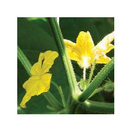 Казанова F1 семена огурца-опылителя среднего 53-58 дн. 17-19 см (Гавриш)