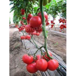 Нейрон F1 семена томата индет. 50-56 дн. розового 160-200 гр. окр. (Nunhems) СНЯТО С ПРОИЗВОДСТВА