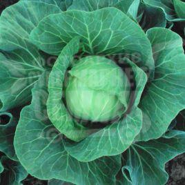 Этма F1 (Етма F1) семена капусты б/к ультраранней 45-50 дн. 0,7-1,5 кг окр. (Rijk Zwaan)