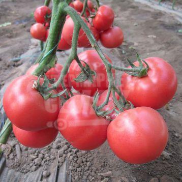 Нейрон F1 семена томата индет. розового (Bayer Nunhems)