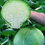 Адема F1 (калибр.) семена капусты б/к ранней 60-65 дн. 1,5-2,5 кг окр. (Rijk Zwaan)