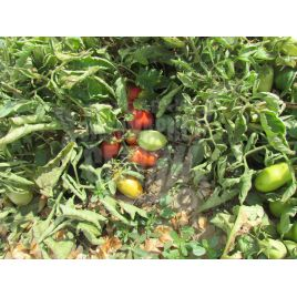 Инкас F1 семена томата дет. раннего 95-100 дн. слив. 80-100 гр. (Nunhems)