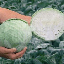 Анкома F1 семена капусты б/к поздней 120-130 дн. 2,5-4 кг (калибр.) (Rijk Zwaan)